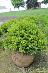 B&B Boxwood Green Velvet
