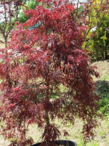 Crimson Lace Leaf Japanese Maple