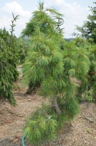 White Pine Weeping
