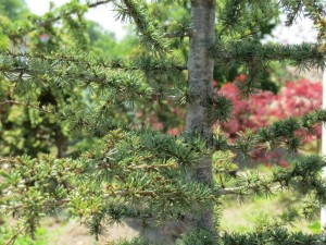 green cedar atlas