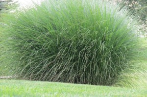 ornamental grasses 2